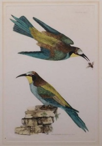 P.J. Selby: Bee Eaters