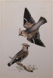 P.J. Selby: Bohemian Waxwings